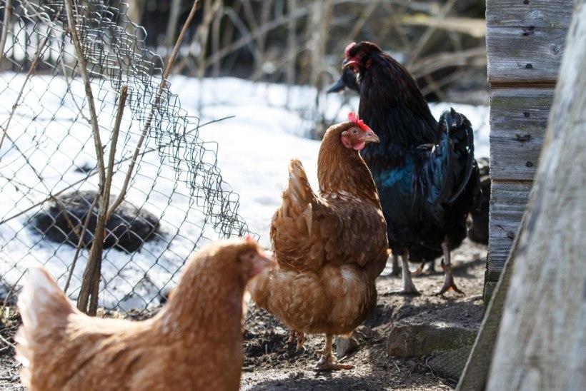 HOIATUS! Poola suleliste farmides pesitseb linnugripp
