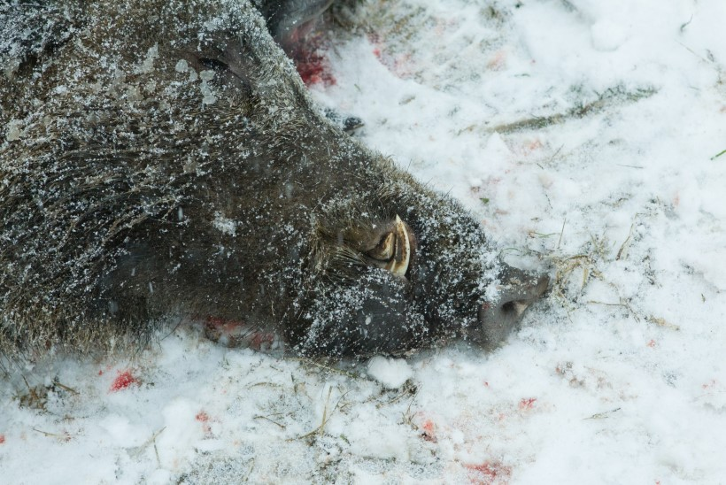 Harjumaalt leiti seakatkuga nakatunud metssiga