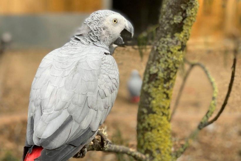 VÄNGE NOKAVÄRK: Inglise loomaparki saabus hullupööra ropendavate papagoide bande