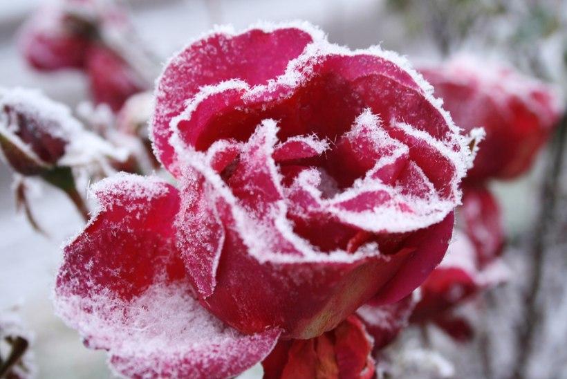 Ära oota külmadeni! Säti roosid talveks valmis
