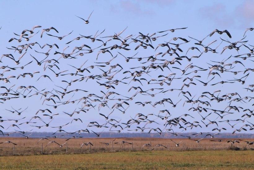 Sügisene linnuvaatlus: minna tasub nii mere äärde kui metsa