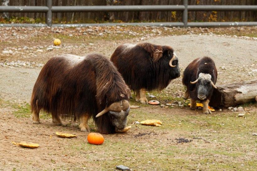 ÕL VIDEO JA FOTOD   Tallinna loomaaia kõrvitsapidu meelitas ligi ohtralt väikeseid ja suuri loomafänne