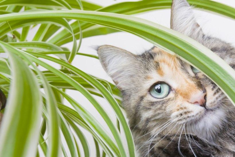 Lillelembene kiisu: mida teha, kui kass hekseldab käpaulatusest kõik toataimed?