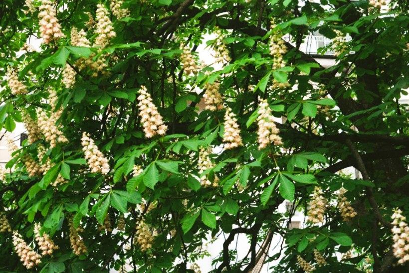 Lugeja küsib: kuidas lillekasti ise tulnud väike kastanipuu aeda ümber istutada?
