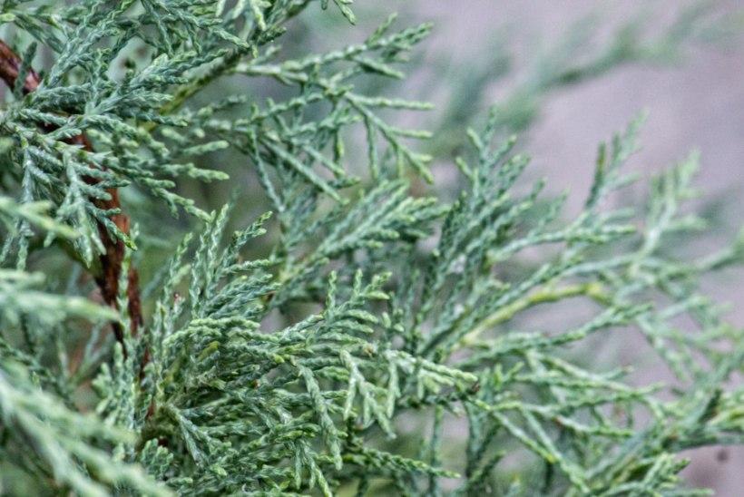 Raagus aia hallid ja hõbedased ehted ehk Millist okaspuud oma õuele valida?