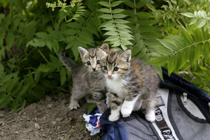 LIIGA PALJU! Loomaomanikud lasevad kassidel kontrollimatult paljuneda ega hooli tagajärgedest