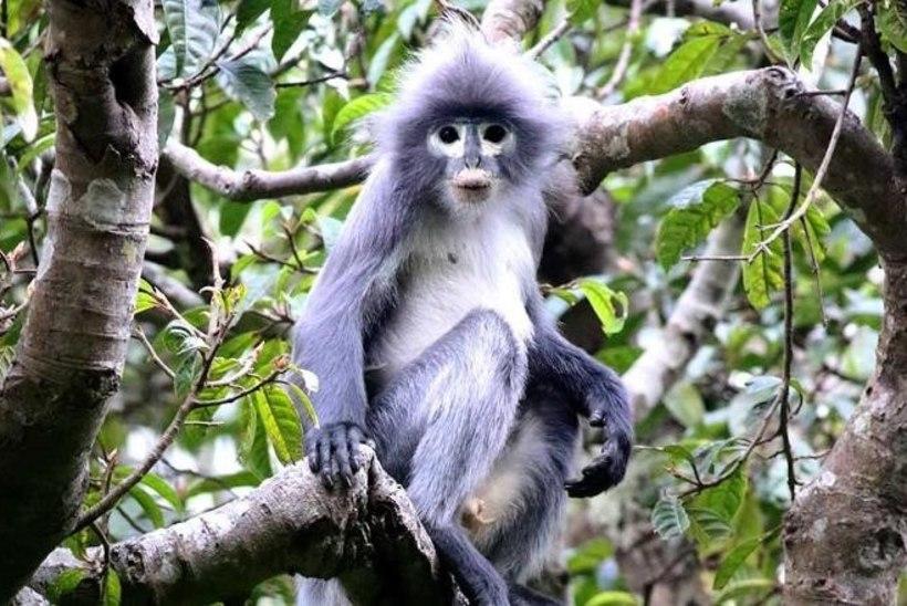 OHUSTATUD LIIK: hiljuti avastatud primaati ähvardab juba väljasuremine