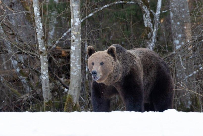 Kohtumisi karudega ja kuidas neid jäädvustada