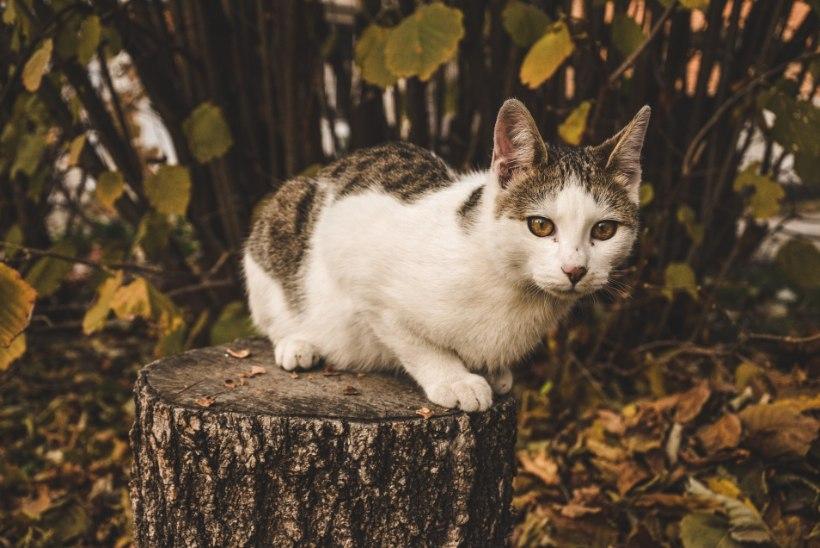 Lugeja mure: naabri kass hulgub ööpäev läbi minu õuel ja tahab tuppa tulla! Mida teha?