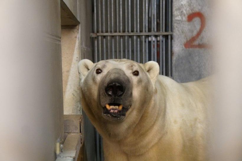 Tallinna loomaaeda tuli koos värske lumega uus jääkaru Rasputin