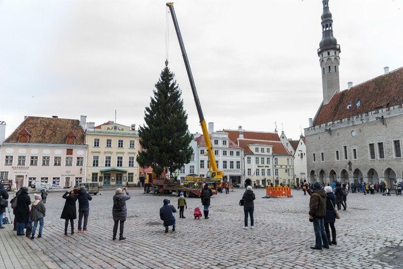 GALERII | Tallinna Raekoja platsile püstitati täna jõulukuusk