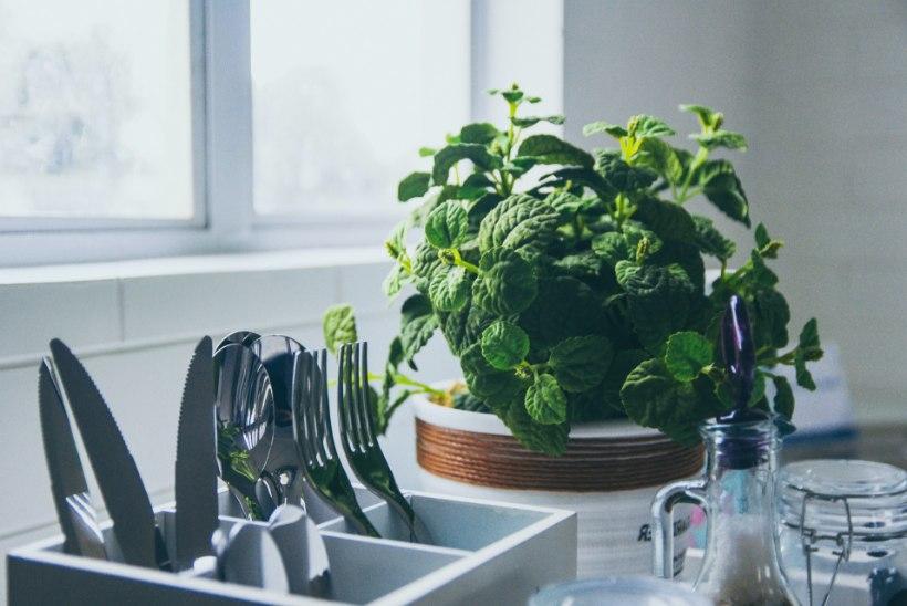 Rohenäpu toimekas talv: maitsetaimedest aknalaual kahjuritõrjeni