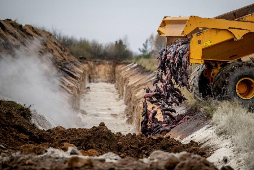 Taani soovib üles kaevata massikalmetelt taas pinnale ilmunud zombinaaritsad