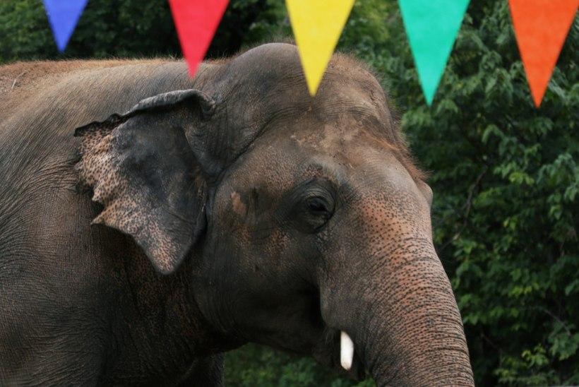 Maailma üksikuim elevant saab lõpuks vabaks