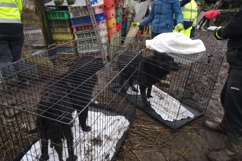 FOTOD   ENNEOLEMATU PÄÄSTEOPERATSIOON: s*ta, pori ja vee sees elanud 28 koera said uuele elule