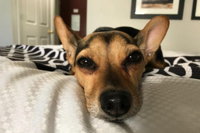 Milline koer sobib korterisse? 8 küsimust, mis aitavad sul õige valiku teha