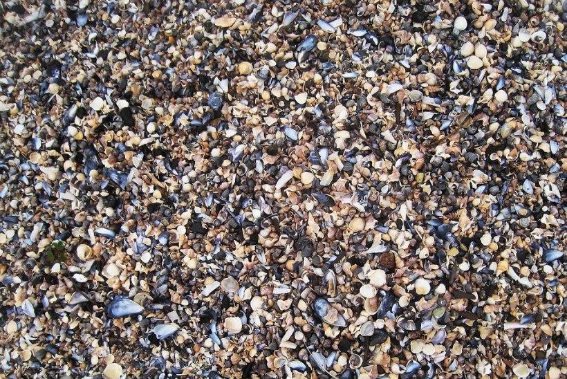 Läänemere sinikarbid muutuvad kiiresti väiksemaks