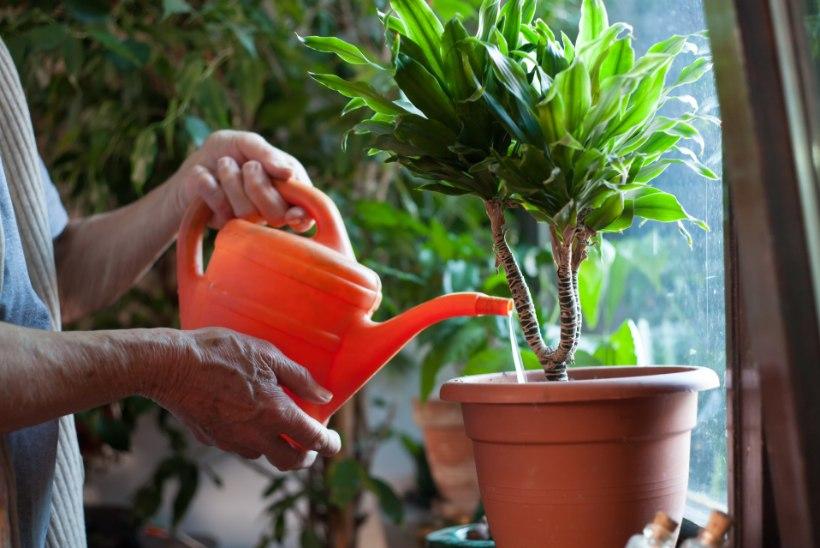 Toataimede talvehooldus: õige kastmine, parasiiditõrje ja piisav valgus