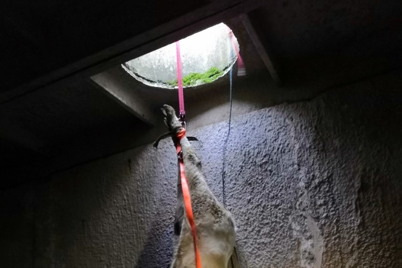 FOTOD | LENDAVAD LEHMAD! Viie meetri sügavusele kukkunud mullikad tõsteti kaevust välja