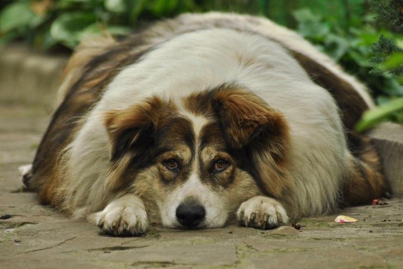 Koera diabeet ohustab ka omanikku