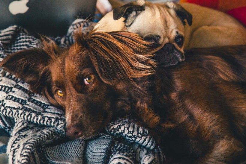 VIDEO   Loomaarst annab nõu: kuidas rahustada ilutulestikumöllus värisevat koera?