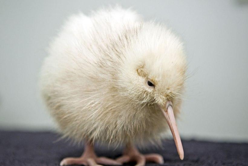 KURB! Uus-Meremaal suri paljusid lapsi inspireerinud haruldane valge sulestikuga kiivi