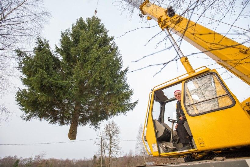 """Paide linnasüdamesse juba pool sajandit jõulupuud toonud Enn: """"See ju ikkagi pidupäev."""""""