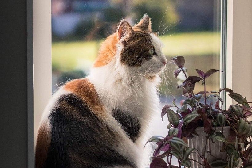 PÕHJALIK ÜLEVAADE: lilled, mis võivad viia kassi tervise