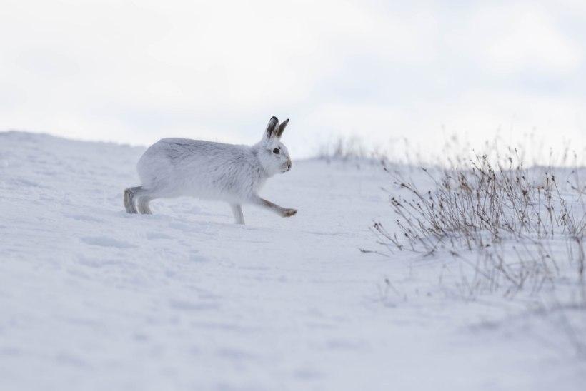 LUMETA TALVE MURED: valgejänese hele kasukas ei kaitse, vaid tõmbab ligi kiskjaid