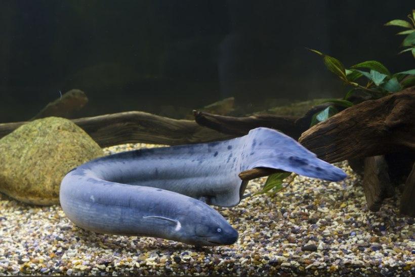 PÕNEVAID FAKTE: haidel on ainsana kaladest silmalaud ja meritähel pole aju