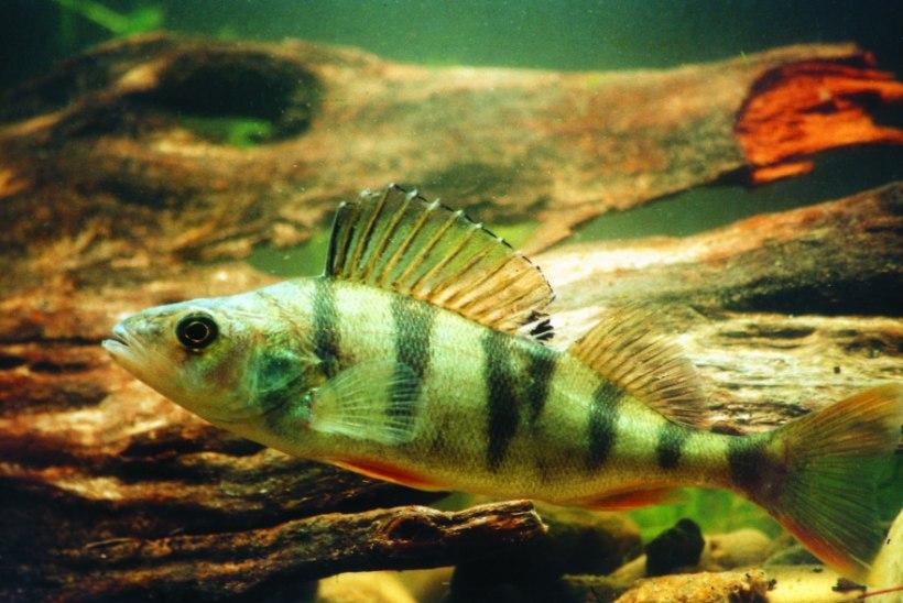 Kehv talv ei meeldi enamasti ka kaladele