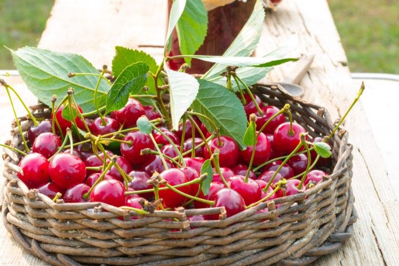 Ohhoo! Kirsside söömine aitab podagravaevusi leevendada