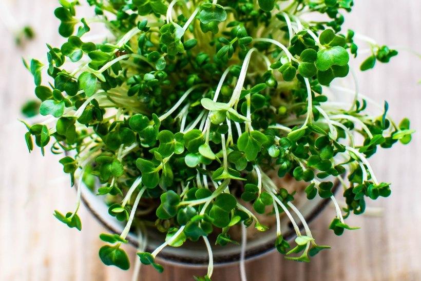 Midagi rohenäppudele: kasvata aknalaual vitamiinirikast mikrorohelist!