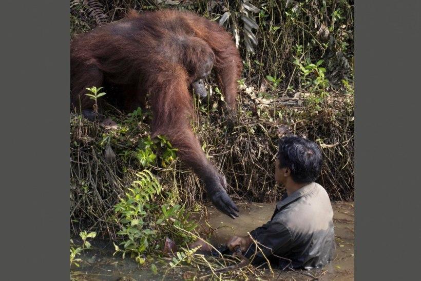 Orangutan ulatas hädalisele abikäe