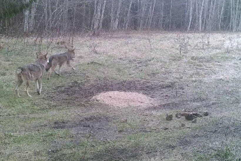 Metsik Lääs Läänemaal: hirmuvalitseja hunt murrab koduloomi kuis tahab