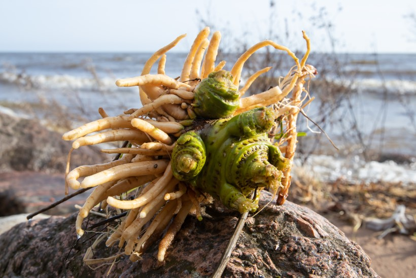Peipsi järv kandis Kallaste randa tapvalt mürgise taime juurikad