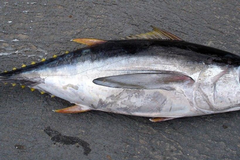 Hullud kalamehed: tuunikala püük lennukikandjalt