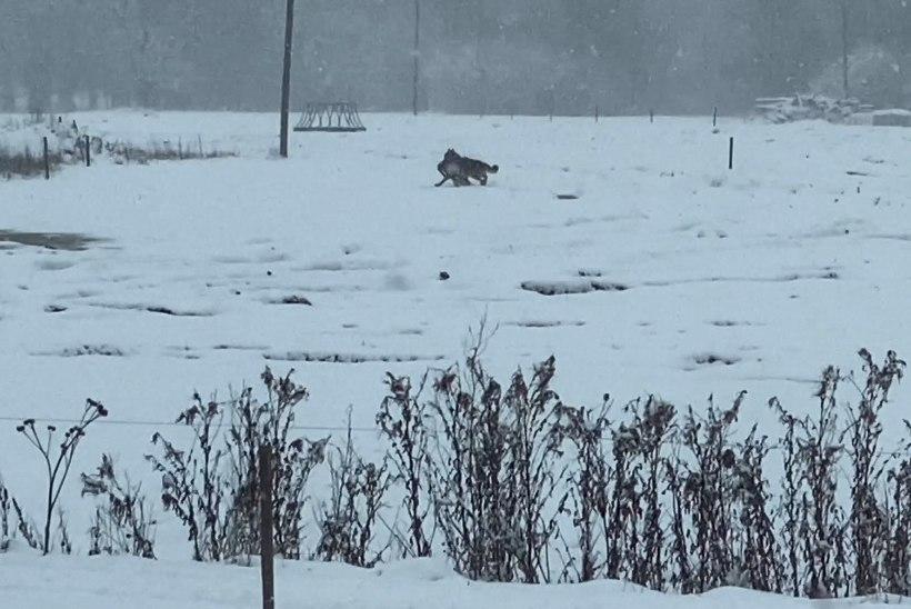 """ÕL VIDEO   VERINE KURBMÄNG KODUÕUEL! """"Emme, mis loom see on?"""" ehk Kuidas lumetu talv lasi huntidel vabalt võimutseda"""