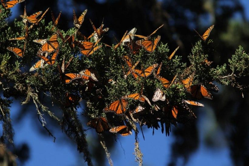 MÕRVAD METSA PÄRAST: mafioosod tapavad Mehhiko liblikasõpru
