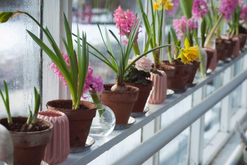 Mõnusad aiatoimetused: enneta puudel külmalõhesid ja ajata aknalaual sibullilli