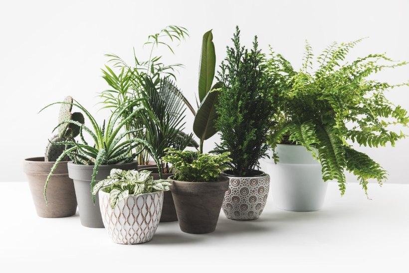 Trendikas rohelus interjööris: suurelehelised taimed ja vähenõudlikud sukulendid