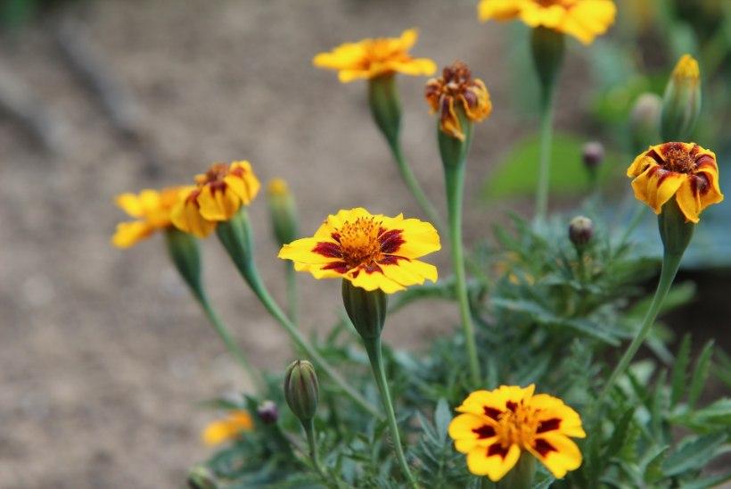 Lopsaka ilu- või tarbeaia saab luua ka rõdule või terrassile! Millised taimed selleks sobivad?