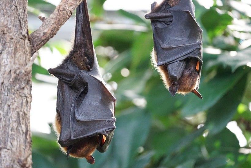 Koroonaviirused teevad enne inimeseni jõudmist liikidevahelisi hüppeid