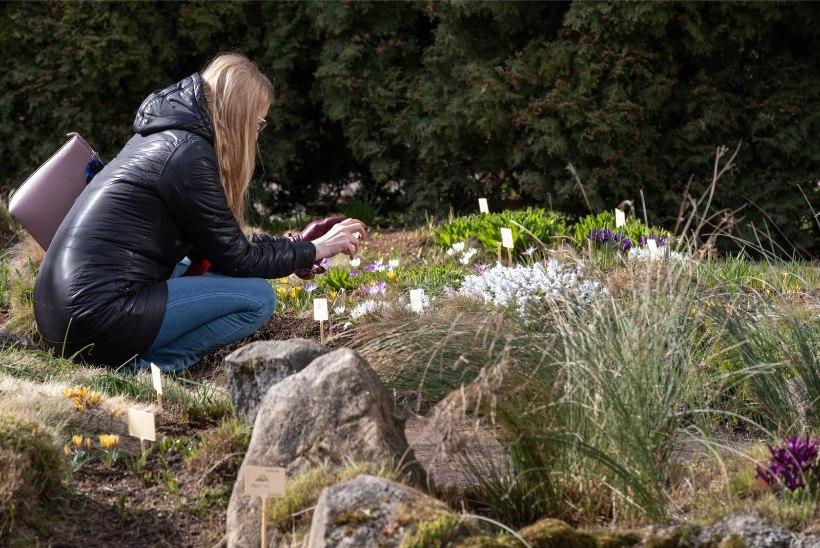 FOTOD | Algas kevad: Tartu ülikooli botaanikaaed pakub õiteilu ja osooni