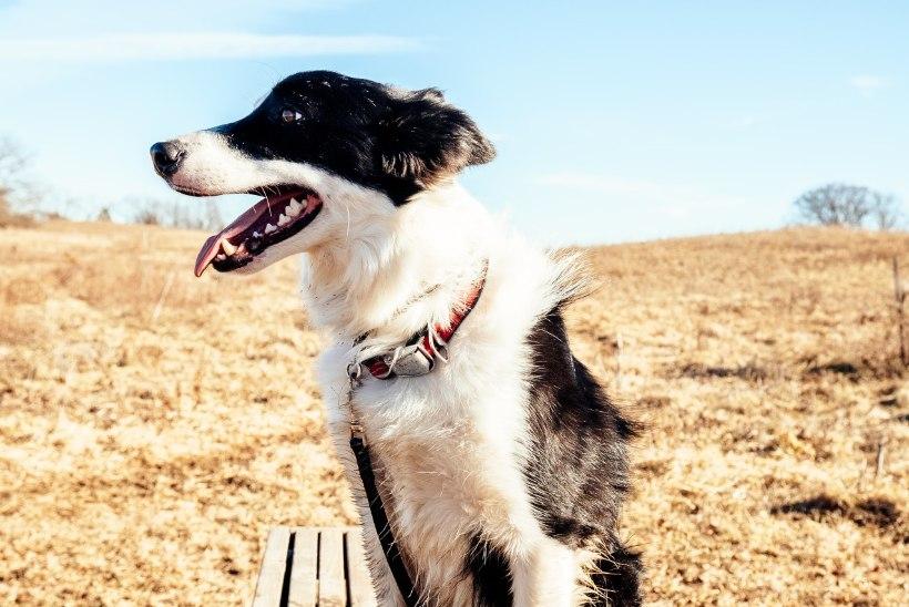 Kas koroonaviirust on võimalik saada lemmikloomalt ja vastupidi?Veterinaarid toovad selguse!