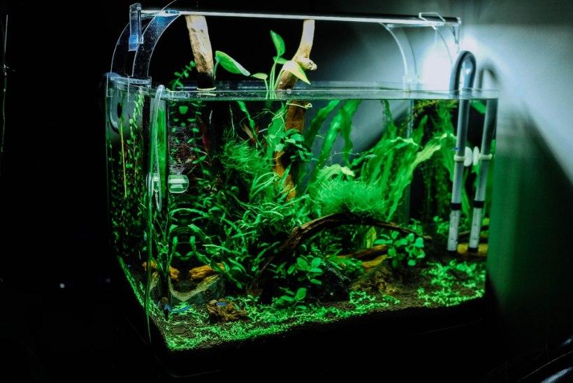 Kuldkalake sinu kodus ehk Mida peaksid teadma enne akvaariumi soetamist?