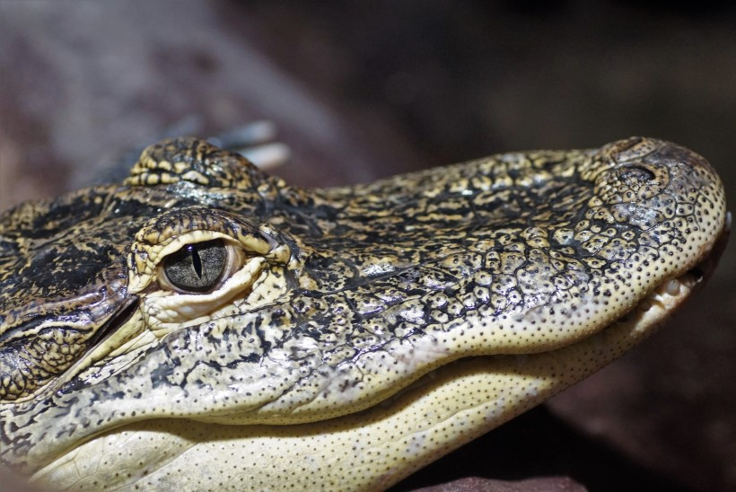 Alligaator elas veerand sajandit elumaja keldris