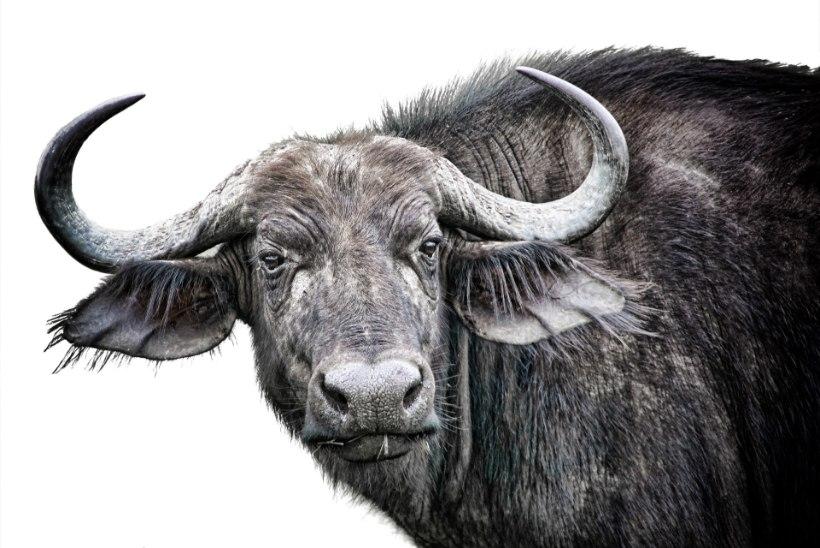 Kas teadsid, kumb on ohtlikum, kas hai või lehm?