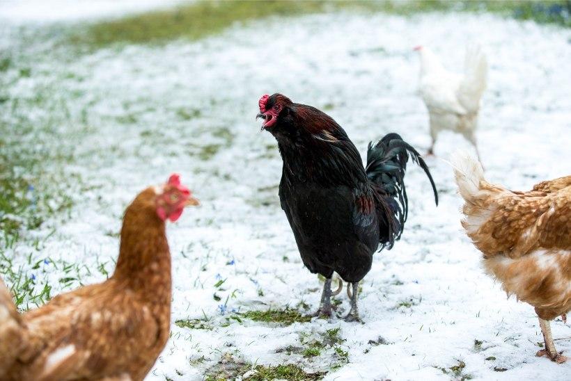GALERII | Kevadine lumi ajas kanad segadusse