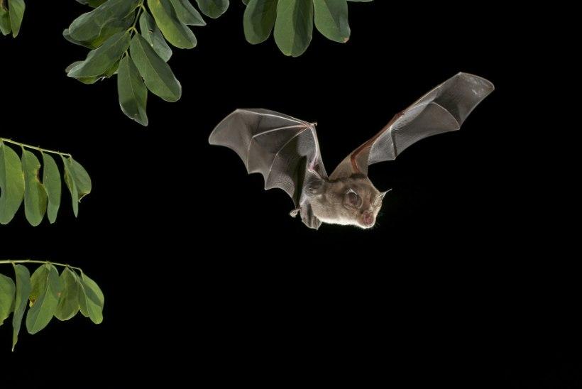 Inimesed on hakanud nahkhiiri hävitama
